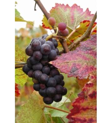 Randonnée Bacchus - Dieu du Vin