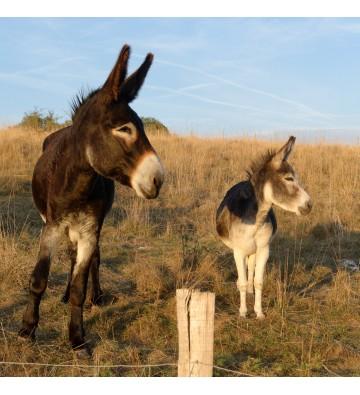 Randonnée avec les ânes, découverte du pays ardéchois.